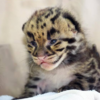 A lucky zoo has just welcomed these beautiful endangered clouded leopard kittens