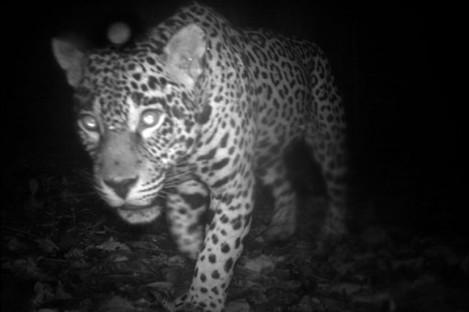 A jaguar in the Central Suriname Nature Reserve.