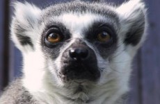 Maude the three-limbed lemur has died, and people are very upset about it