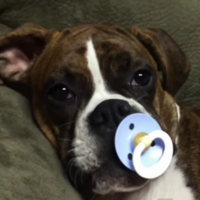 Boxer puppy can't fall asleep without a baby's soother, and it's adorable