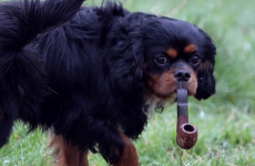 Meet Jasper, the 'pipe-smoking' dog from Galway