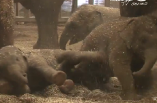 Baby elephants having playtime in Dublin Zoo will fill you with joy
