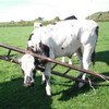 Cow gets head stuck in ladder – needs rescue
