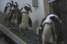 Just some little penguins, wandering adorably around an aquarium