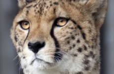 Child (2) falls into cheetah pit  'after mother dangled him over enclosure'