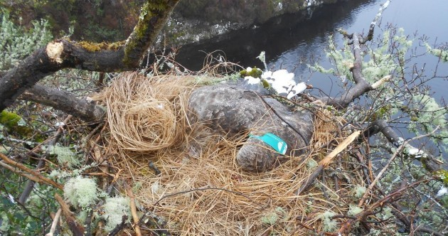 A White-tailed Eagle has been found poisoned in its nest in Connemara