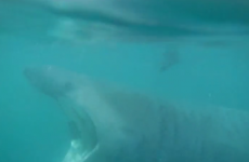 Kayakers in Dingle came face-to-face with a huge (but harmless) basking shark