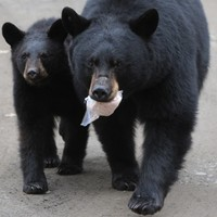 Alaskan bear family to be killed because they love the big city too much