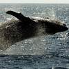 Good news! The humpback whale is no longer endangered