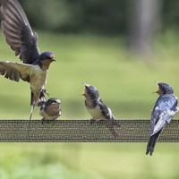 The swallows are back from Africa and that means summer has officially begun