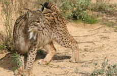 Iberian lynx 'not doomed' despite tiny population size