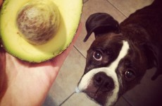 Sniffer dogs and heat-seeking drones used in the fight to protect... avocados