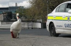 This swan was saved by gardaí after a nasty run-in with Luas cables