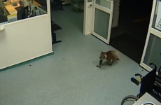 Watch: Cool as you like, koala strolls into Australian ER