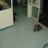 Watch: Cool as you like, koala strolls into Australian ER