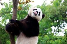 Arizona drivers warned of 'rogue panda rampage'