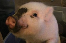 Giggles the micro pig is running for mayor