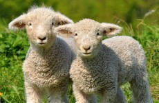 Lambs die after their ears are cut off in violent attack