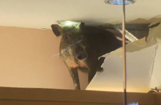 A wild boar fell through a shop ceiling and caused chaos