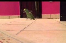 This parrot is going viral for its perfect impression of a cackling supervillain