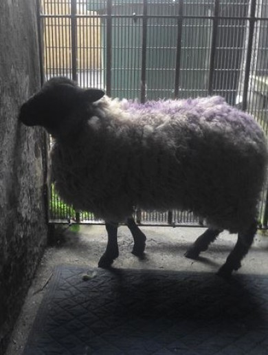 The DSPCA has taken custody of the sheep found in a block of Dublin flats