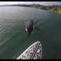 This guy filmed a killer whale nibbling the end of his paddleboard