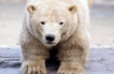 BP accidentally shoots polar bear then watches it die in Alaska
