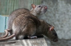 Cork gardaí working in stations infested with rats