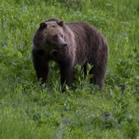 Man killed in second Yellowstone bear attack this summer