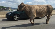 Cow escapes slaughterhouse, goes on the run, gets shot next to McDonald's