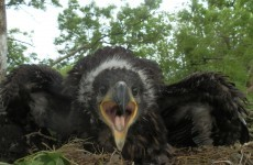 Rare white-tailed eagle chicks hatched in four Irish counties