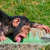 Chimpanzees have sessions, get drunk, go for a lie down - new study