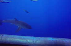 This cage video of a great white shark will scare the pants off you