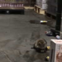 Take a break and watch this video of a drunk raccoon