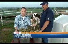 A pair of horny cows just stole the spotlight in this news report