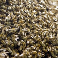 A swarm of bees terrified pedestrians on a footpath in Dublin city centre today
