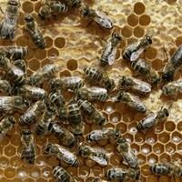 EU places limits on modified honey