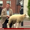This Irish TV reporter got wee'd on by a lamb and absolutely cracked up
