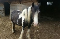 Have you seen this horse? She's heavily pregnant and was stolen last night