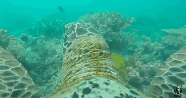 Sit back and let this sea turtle with a GoPro give you a tour of Australia's Great Barrier Reef