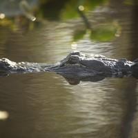 "Man shouts ""f*ck those alligators"", jumps into water, gets eaten by alligators"