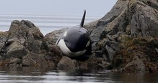 A giant killer whale has been rescued after beaching itself