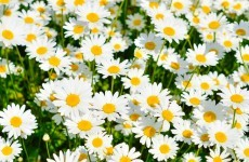 Were deformed daisies found near Fukushima caused by radiation?