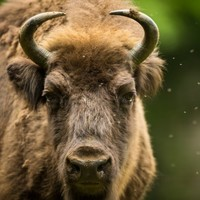 Woman tries to take selfie with bison, bison attacks