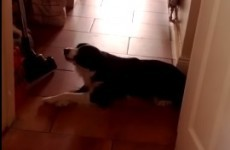 This Dublin dog seems to speak perfect English back to her owner