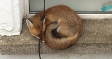 This fox was spotted trapped and scared in a Dublin 8 basement this morning