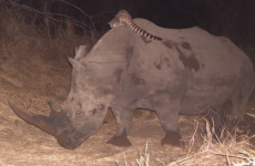Watch: A wildcat was caught riding a rhino at an African nature reserve