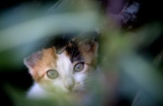 Glow in the dark cats could help HIV study