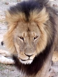 US moves to curb trophy hunting after Cecil's death