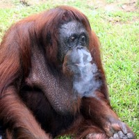 Smoking Malaysian orangutan forced to kick the habit
